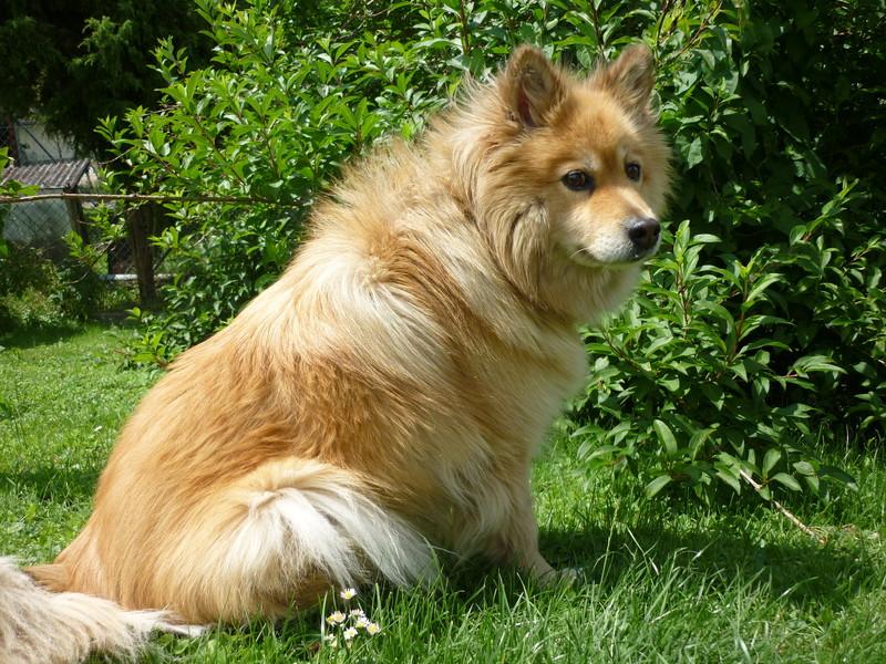 Chiens r publique et canton du jura for Cout d un chien assis